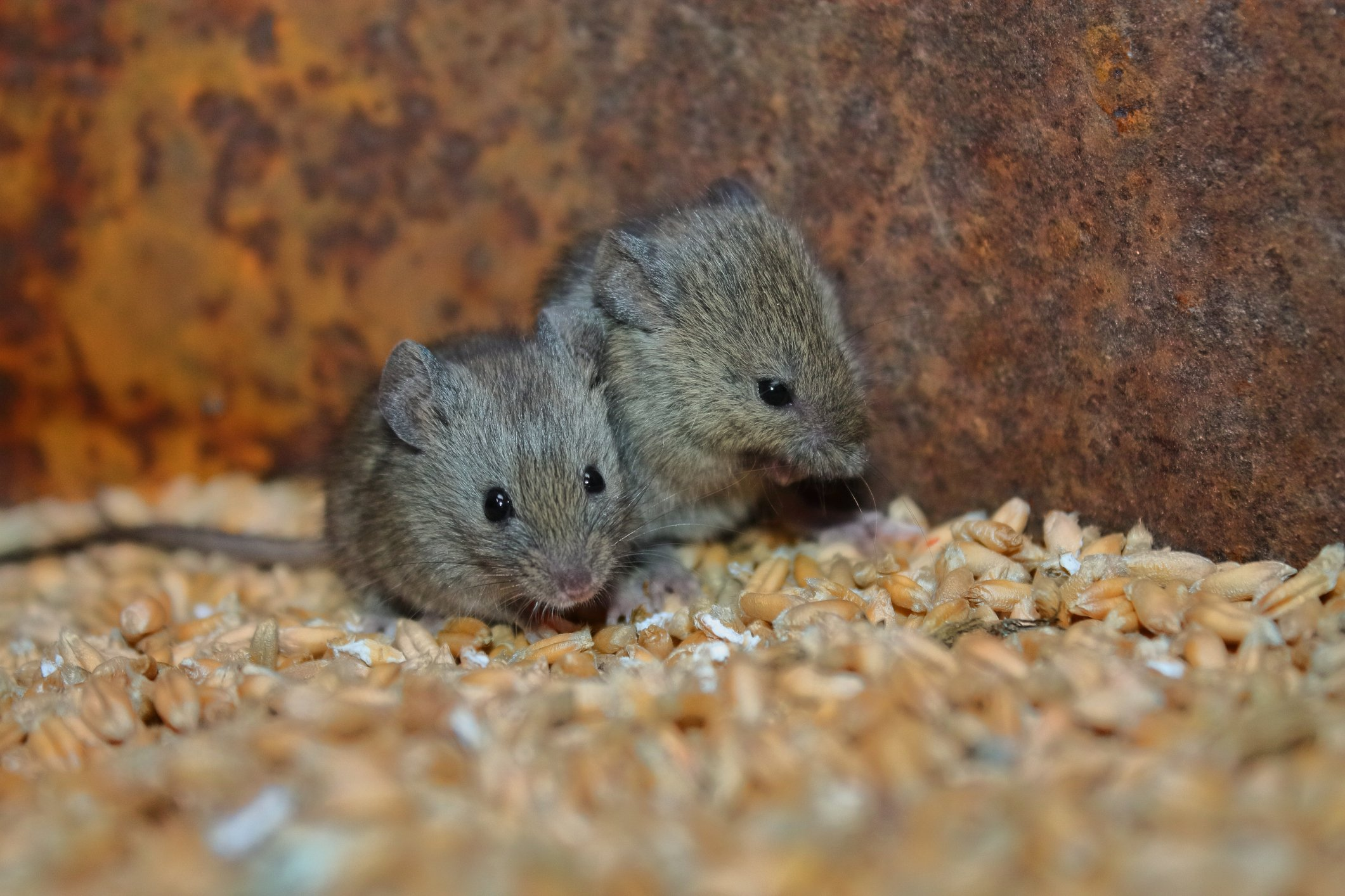 rodents-in-food-processing